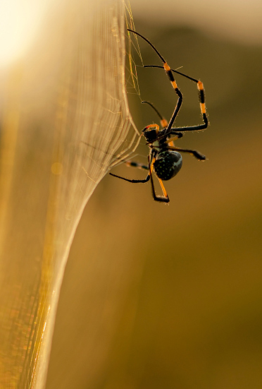 spider_golden_orb_72404464